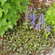Garten Günsel, Bodendecker, Blütenpflanze