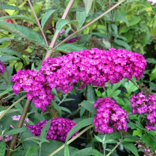 Sommerflieder Royal Red, Buddleja, Schmetterlingstrauch, Bienenweide