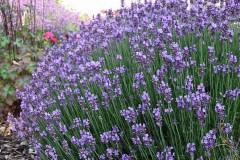 Lavendel - ein Duftmagnet im Garten