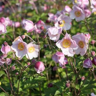 Anemone Ouvertüre, Herbstanemone, Herbstblüher