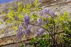 Wisterien - Schöne, starkwachsende Schlingpflanzen