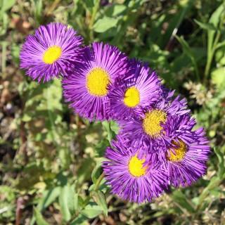 Feinstrahlaster Dunkelste Aller, Blütenpflanze Aster