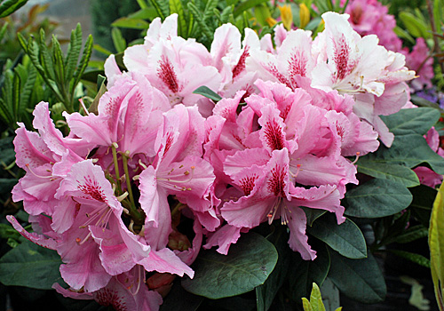 Rhododendron-Furnivals-Daug
