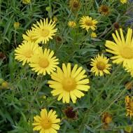 Ochsenauge Alpengold, Blütenstaude