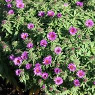 Raublattaster Purple Dom, Aster, Herbst