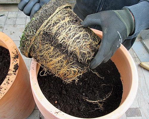 Pflanz- & Pflegeanleitung Für Kübelpflanzen | Native Plants Winterharte Balkonpflanzen Pflanzarten Und Pflege Tipps
