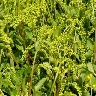 Goldtröpfchen, Fettblatt, Blütenstaude
