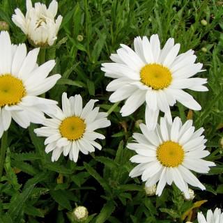 Wiesenmargerite Maikönigin, Margerite, Leucanthemum, Blütenpflanze