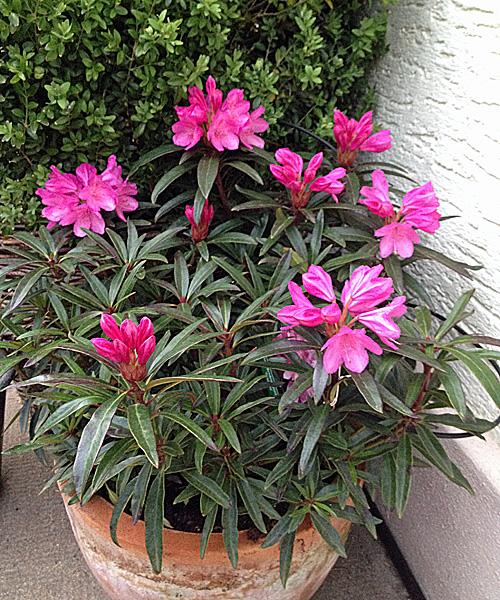 Rhododendron-Graciella