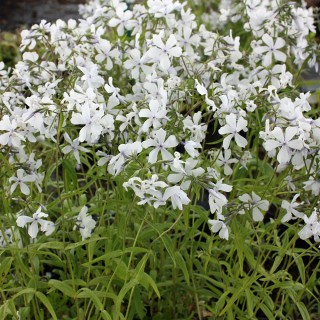 Wald Phlox White Perfume, Blütenstaude,