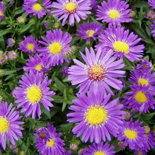 Glattblattaster Schöne von Dietlikon, Blütenstaude, Aster