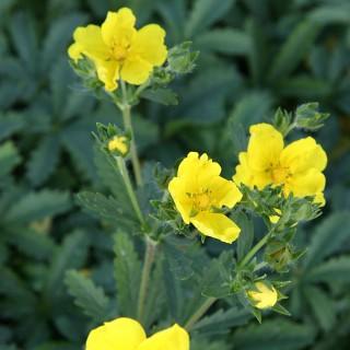 Fingerkraut gelb, Potentilla, Blütenstaude