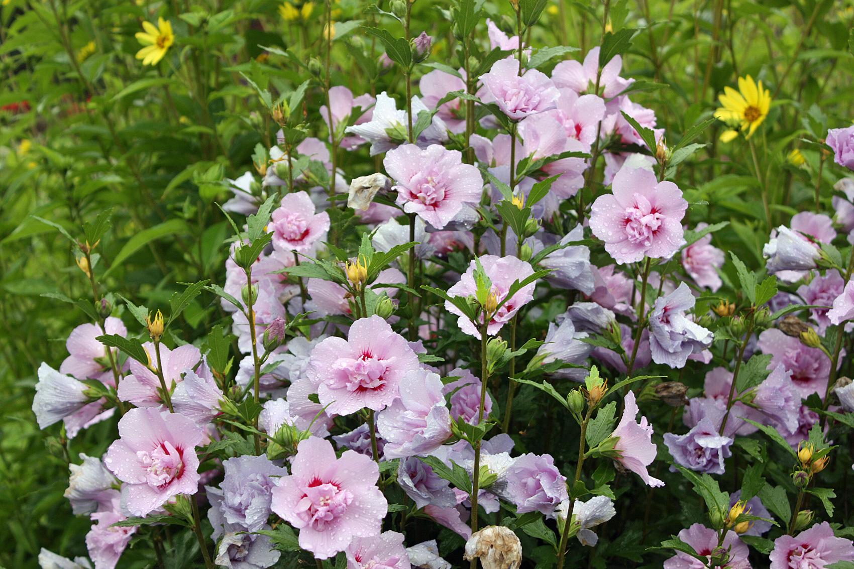 hibiskus hibiscus f r den garten native plants. Black Bedroom Furniture Sets. Home Design Ideas