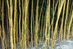 Pflanz- & Pflegeanleitung Bambus