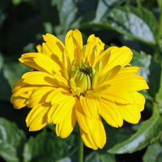Sonnenauge Goldgrünherz, Heliopsis, Schnittblume