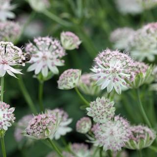 Große Sterndolde, Schattenpflanze, Blütenstaude