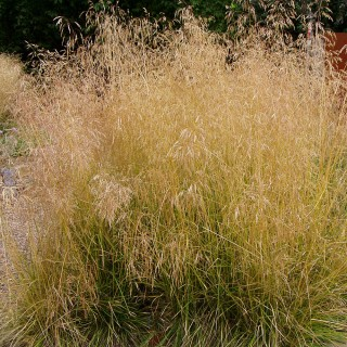 Waldschmiele, Ziergras, Deschampsia cespitosa