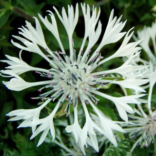 Flockenblume Alba, Wildstaude, Blütenpflanze