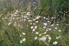 Pflanz- & Pflegeanleitung Rasen Zierrasen Blumenwiese