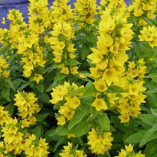 Goldfelberich, Lysimachia, Blütenstaude
