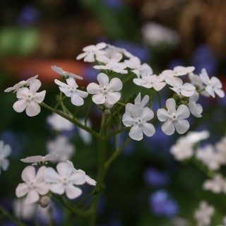 Vergissmeinnicht Alba, Blütenstaude