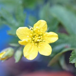 Waldsteinie, Schattenpflanze, Unterbepflanzung