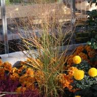 Rutenhirse Rehbraun, Ziergras mit toller Herbstfärbung
