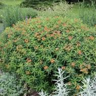 Wolfsmilch Fireglow, Beetpflanzen, Staudenbeet