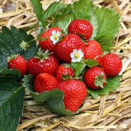 Erdbeere Senga Sengana, Früchte, Obst