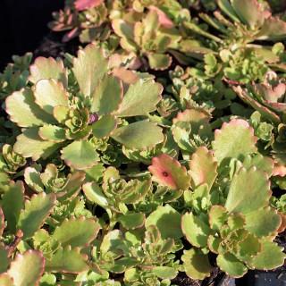 Immergrünes Fettblatt, Sedum, Bodendecker