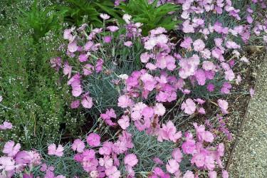 Nelke (Dianthus) für Garten und Balkon