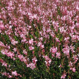 Prachtkerze Pink, Gaura, Beetstaude, Blütenpflanze