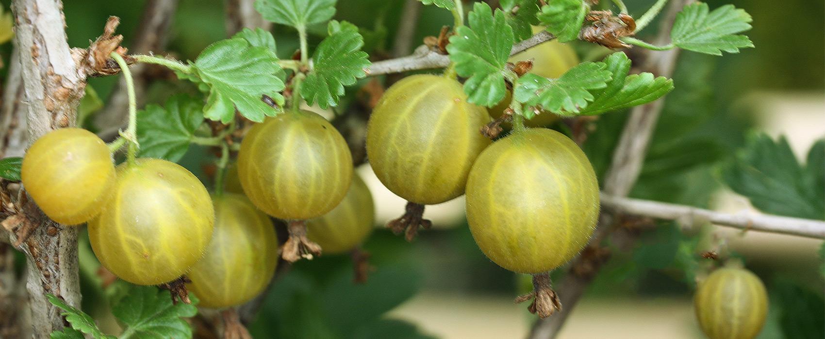 Gartentipp-Stachelbeere
