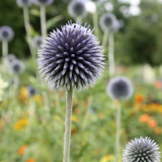 Kugeldistel, Distel, Bienenpflanze