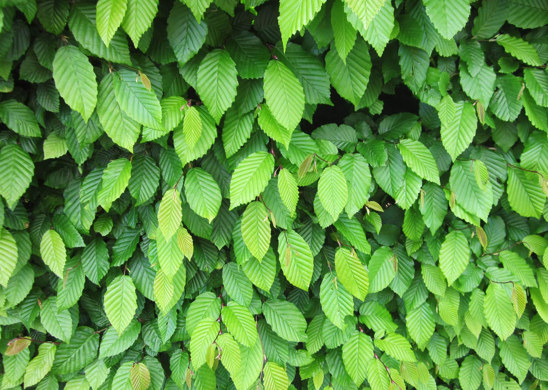 Heckenpflanzen Pflanzen Thematisch Native Plants